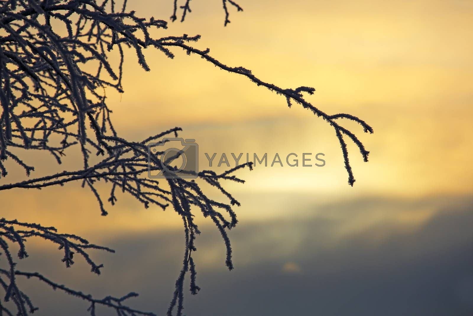 Hoarfrost on the trees in cold winter forest at sunrise