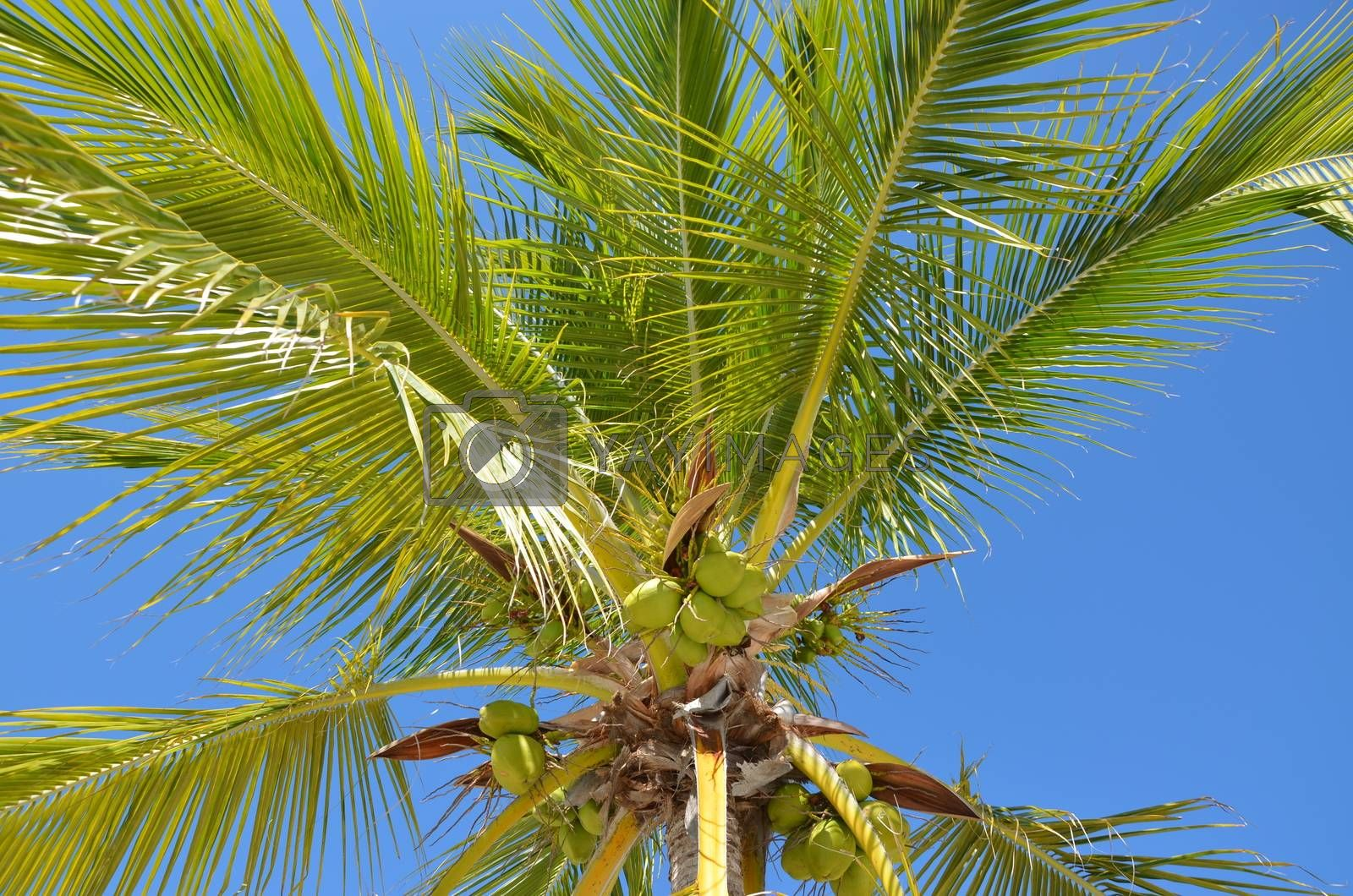 A view of a palm tree with coconuts hanging from the branches