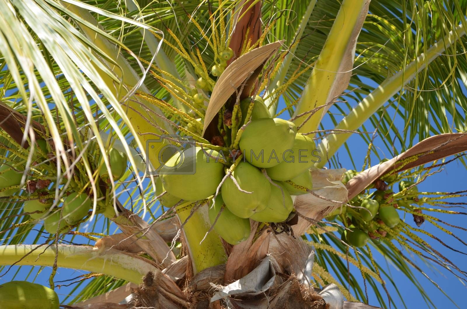 A close-up view of a palm tree with coconuts hanging from the branches
