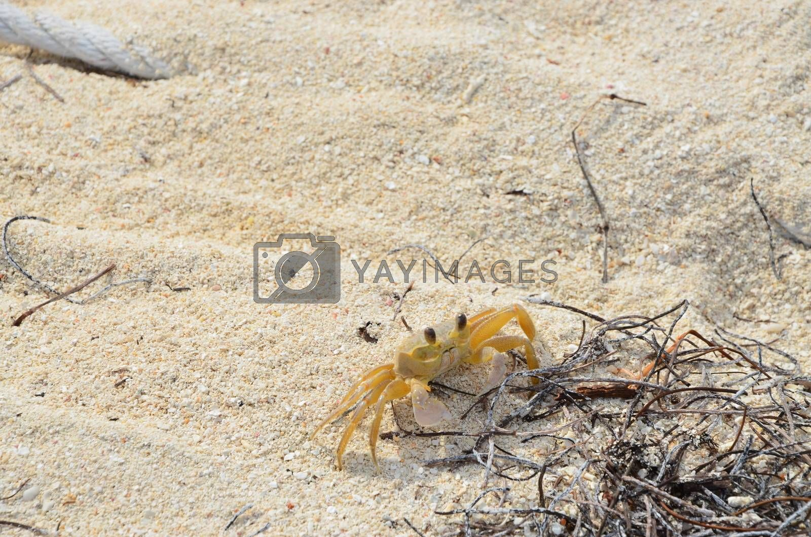 A small yellow crab on the beach of a Florida Key