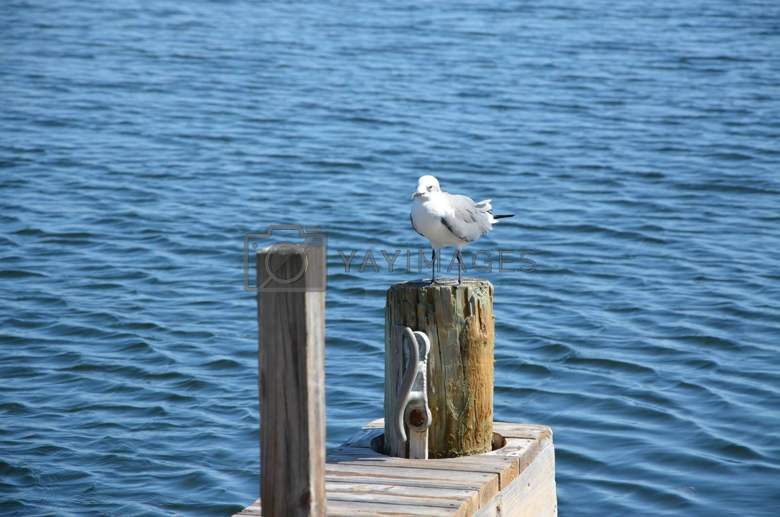 A seagull hanging out on the dock in the florida Keys