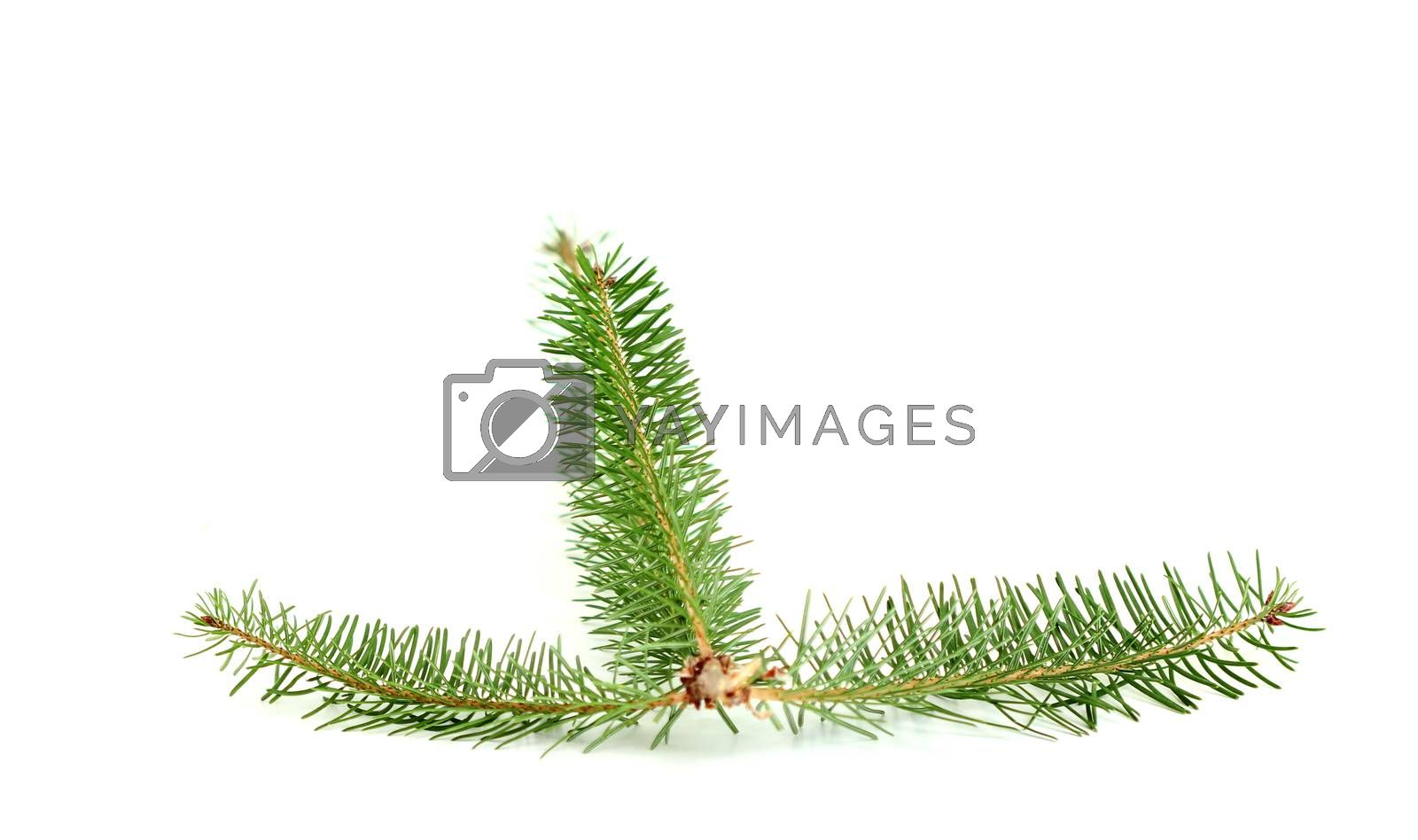 picture of a evergreen tree twigs in a studio