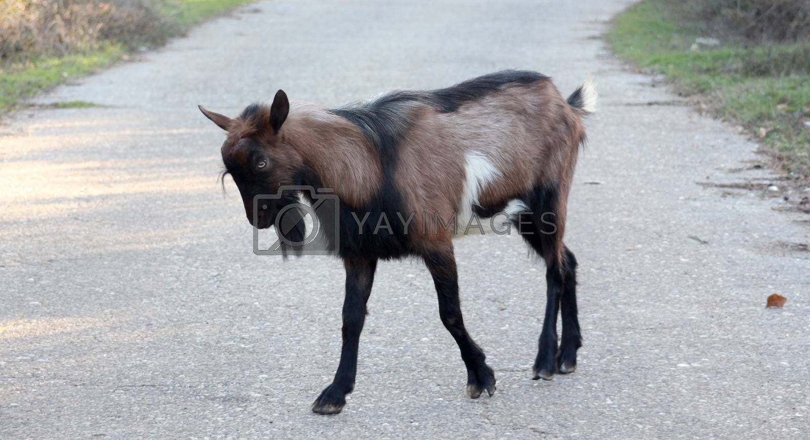 picture of a angry goat on an asphalt road