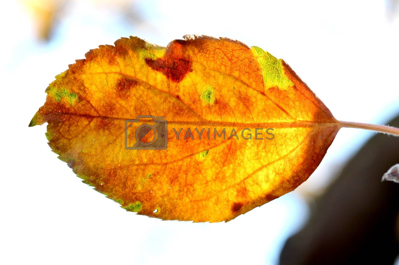 picture of a Close-up of apple autumn leaf on a tree early on the morning
