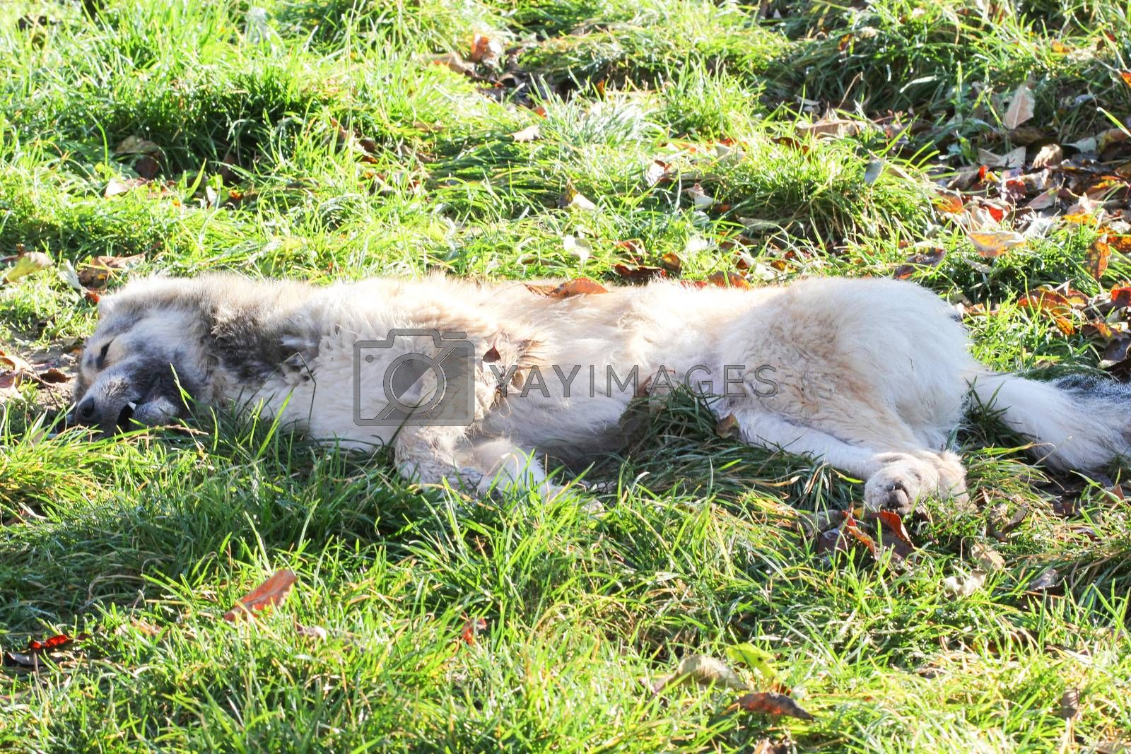 Poisoned dog on a grass in november morning. Save animals concept. by nehru