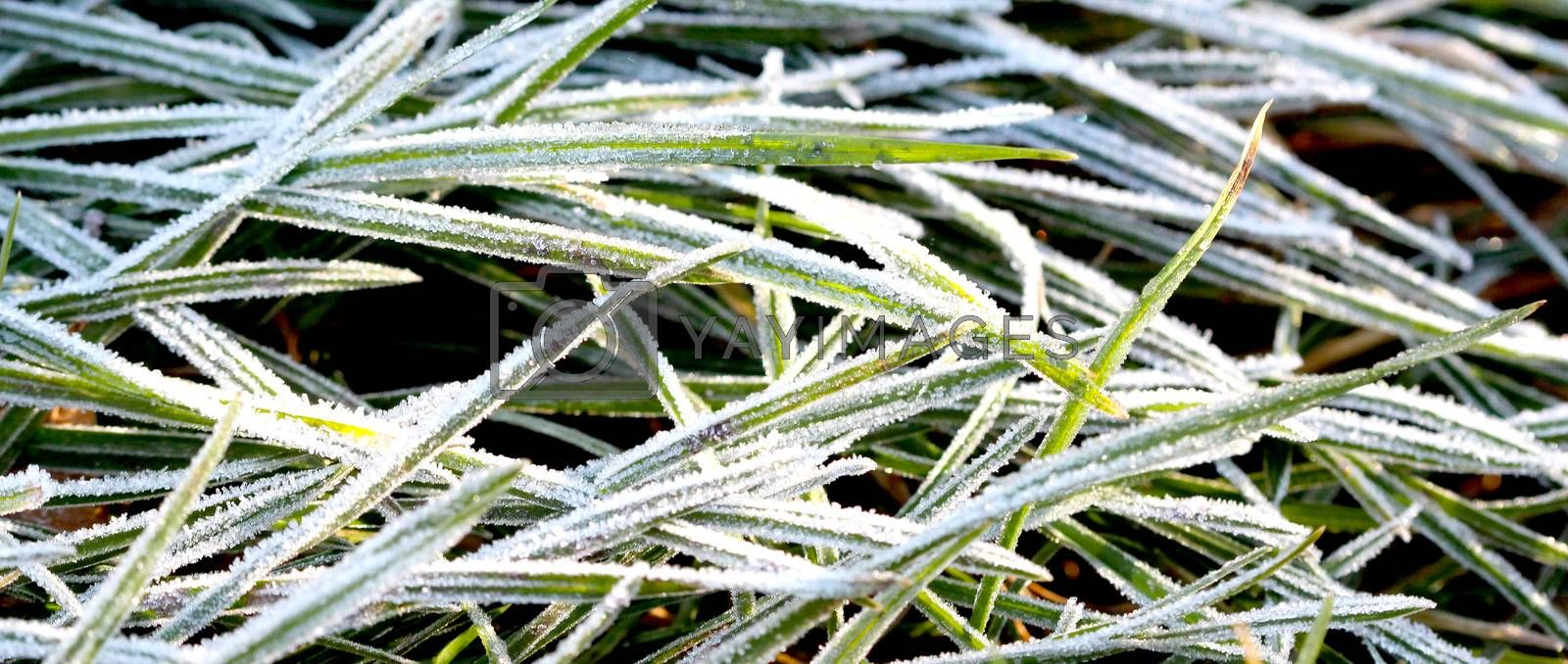 Royalty free image of november morning frost on a plants by nehru