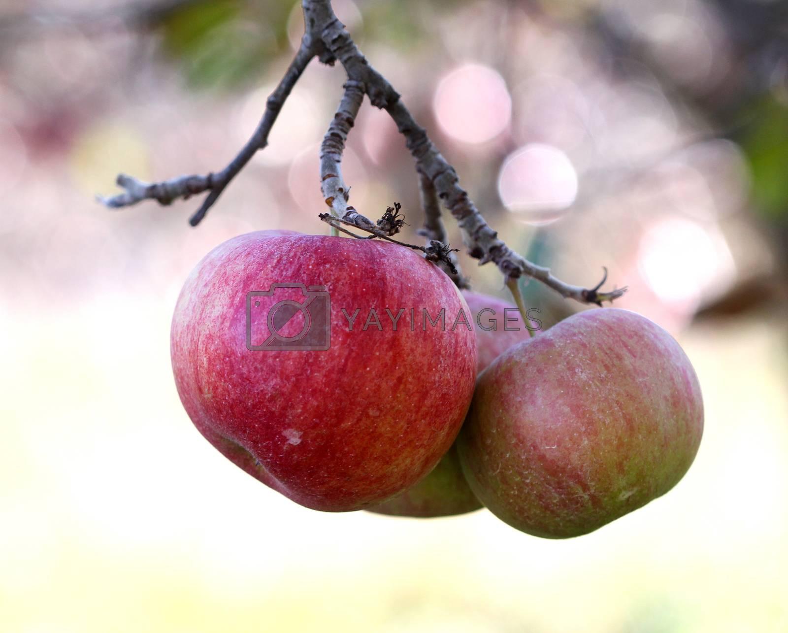 Apples on tree on november morning by nehru
