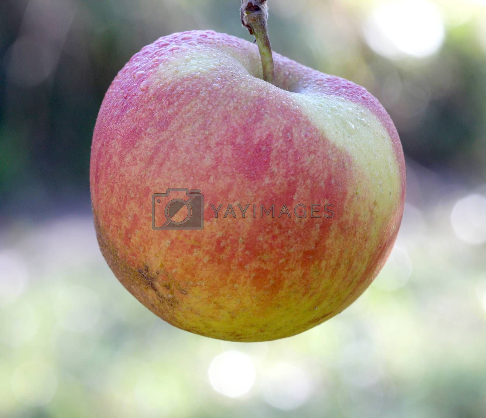 picture of a Apples on tree on november morning,forgotten in harvest