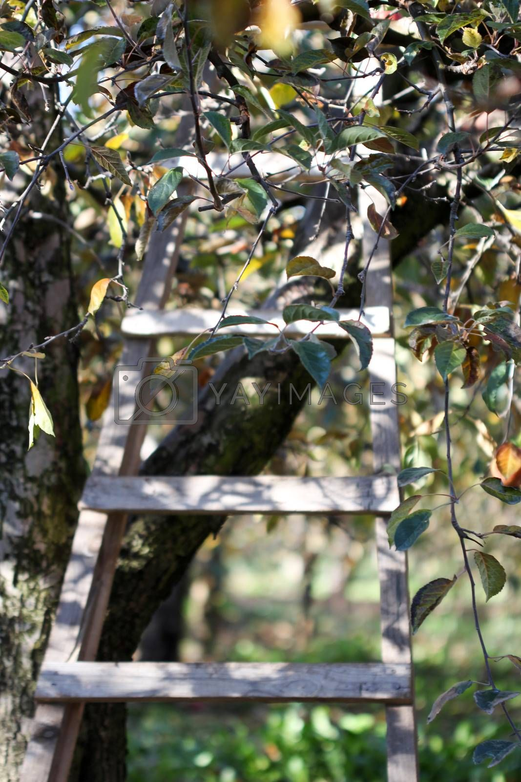 Royalty free image of Ladder in Orchard in autumn by nehru