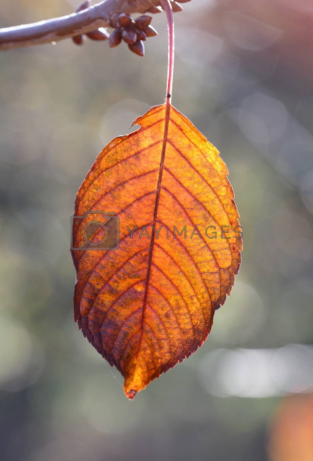 Royalty free image of Close-up of cherry autumn leaf on a tree early on the morning by nehru