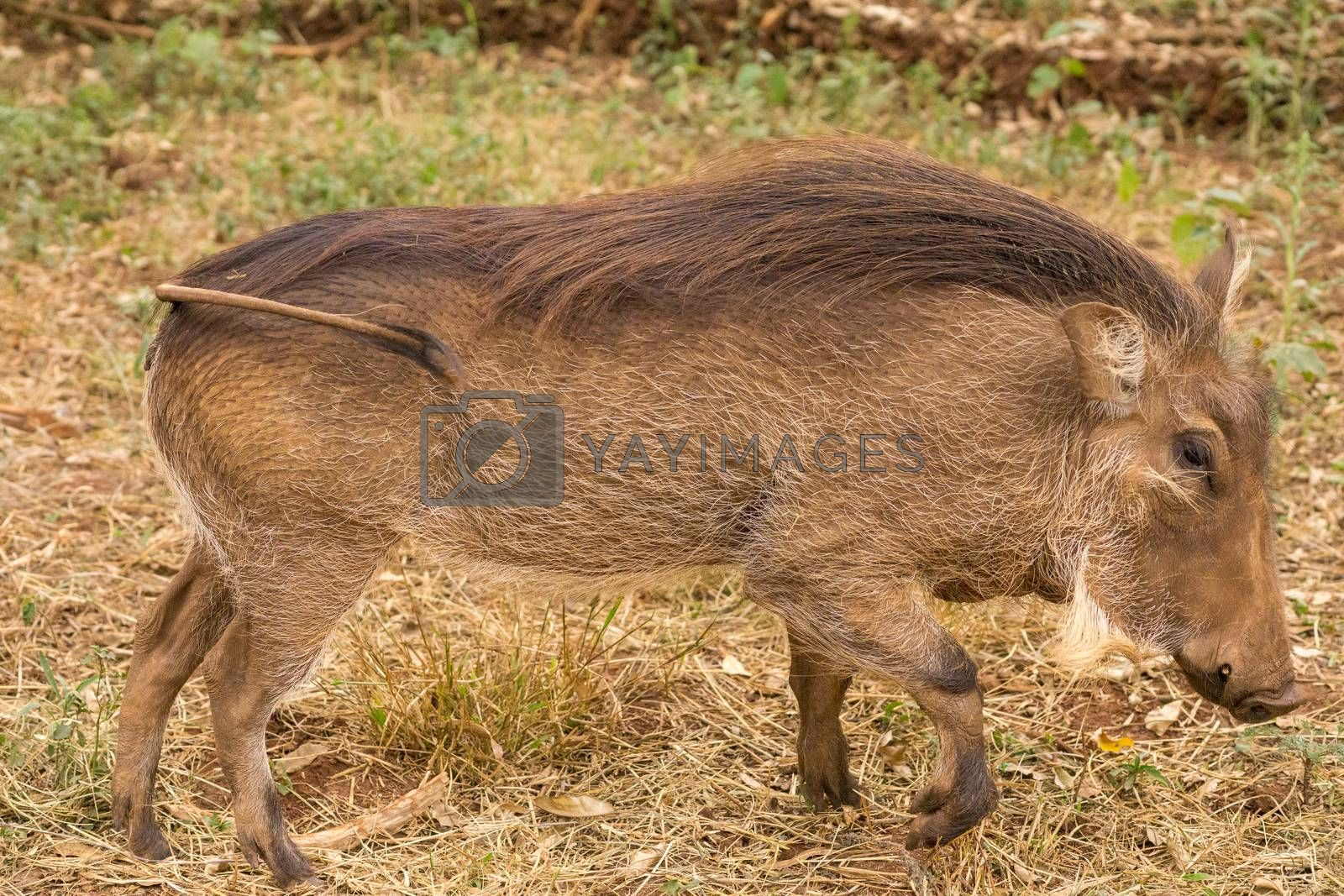 Royalty free image of African warthog by derejeb