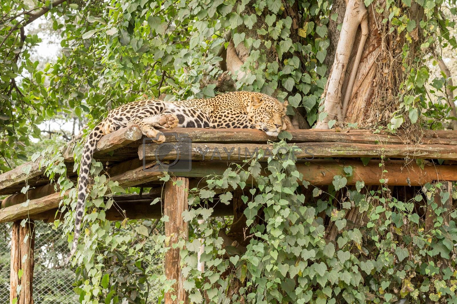 Royalty free image of Sleeping Leopard  by derejeb