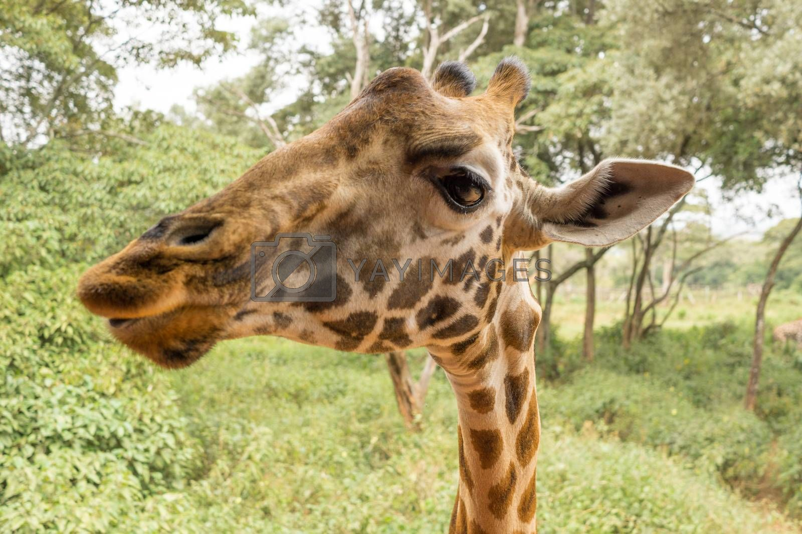 Royalty free image of Portrait of a Giraffe by derejeb