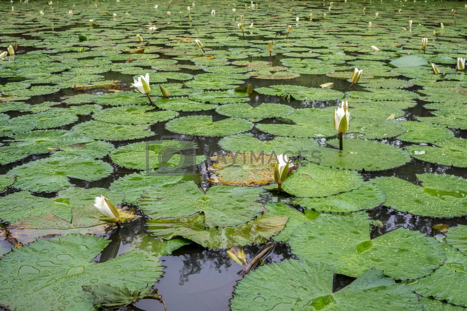 Royalty free image of White Lotus waterlily by derejeb