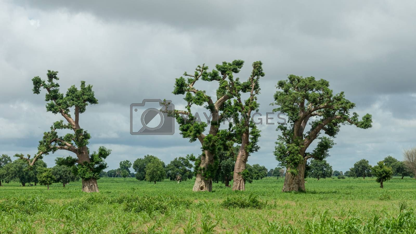 Royalty free image of Old trees with newly sprouting leaves  by derejeb