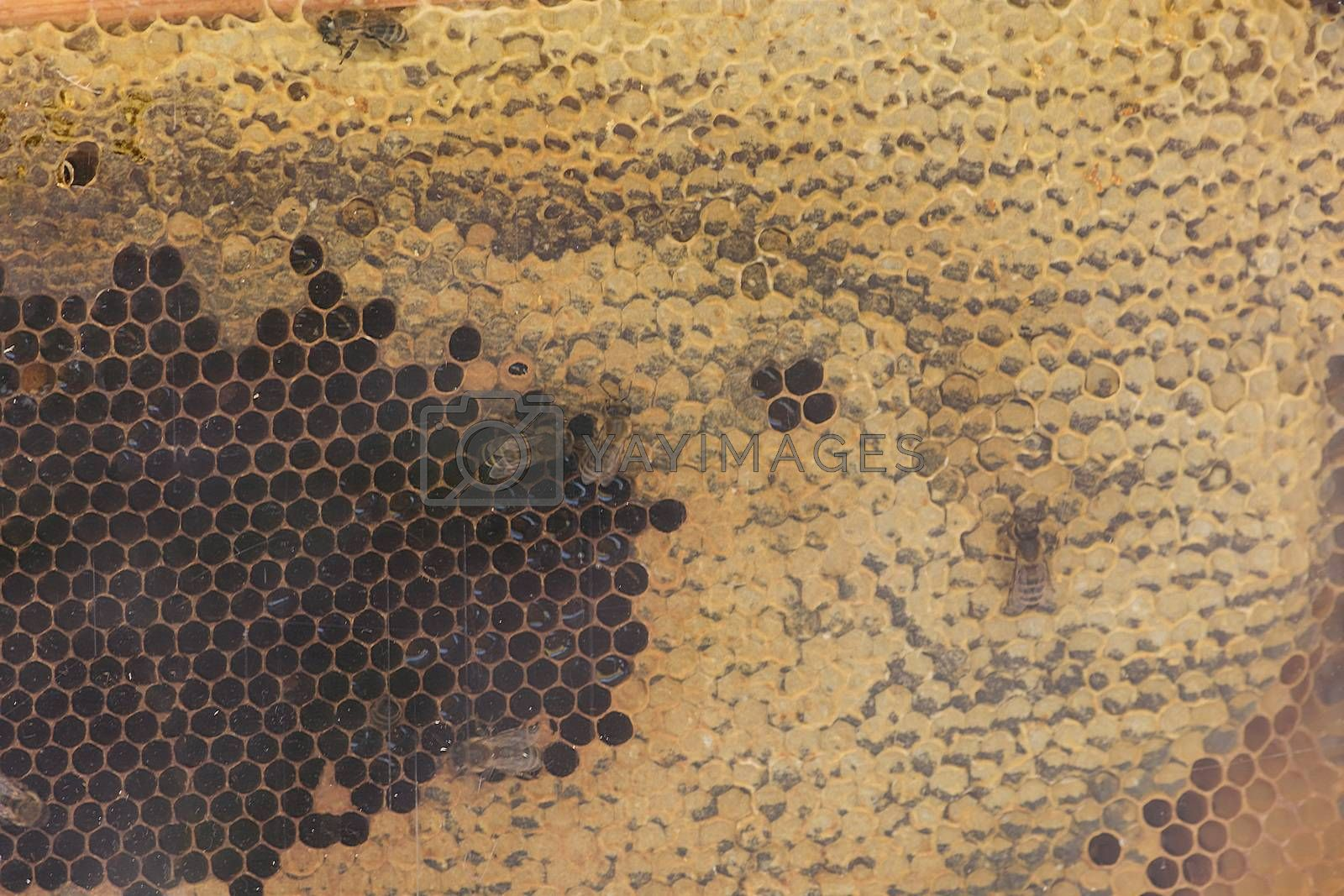Close up of a bee colony on honeycomb in a bee farm. Selective focus, Copy space.