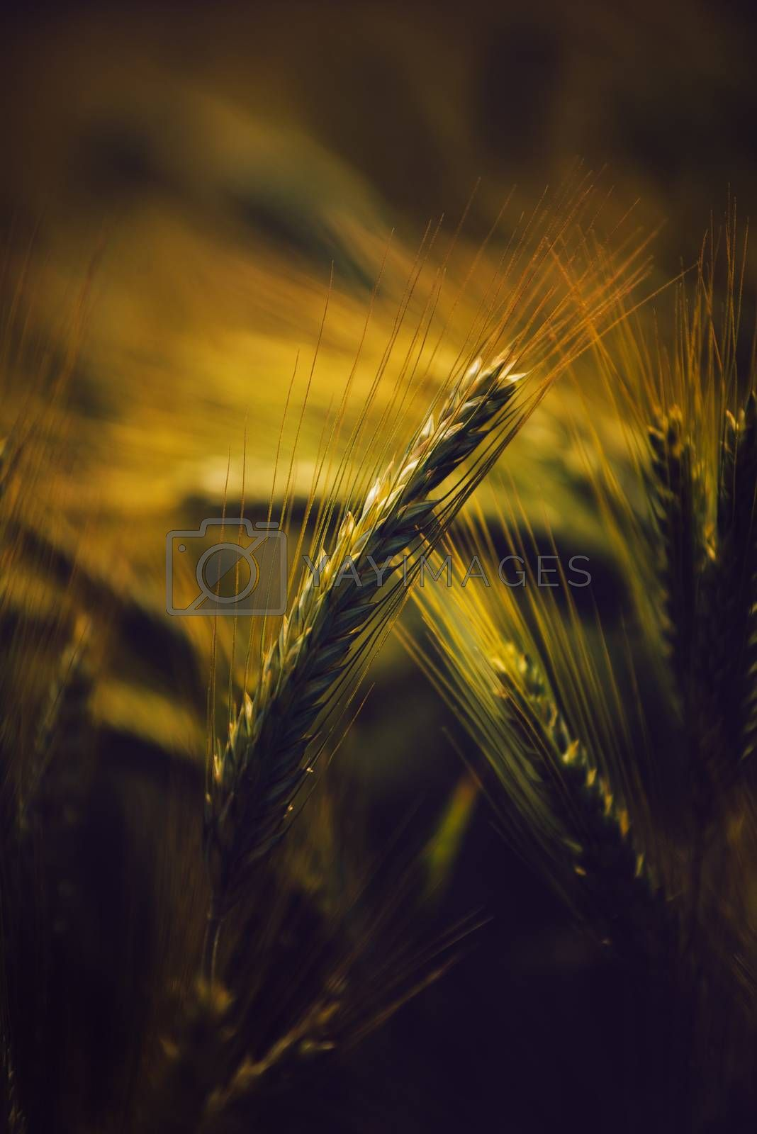 Barley ears in field, grain cereals growing in cultivated field, selective focus