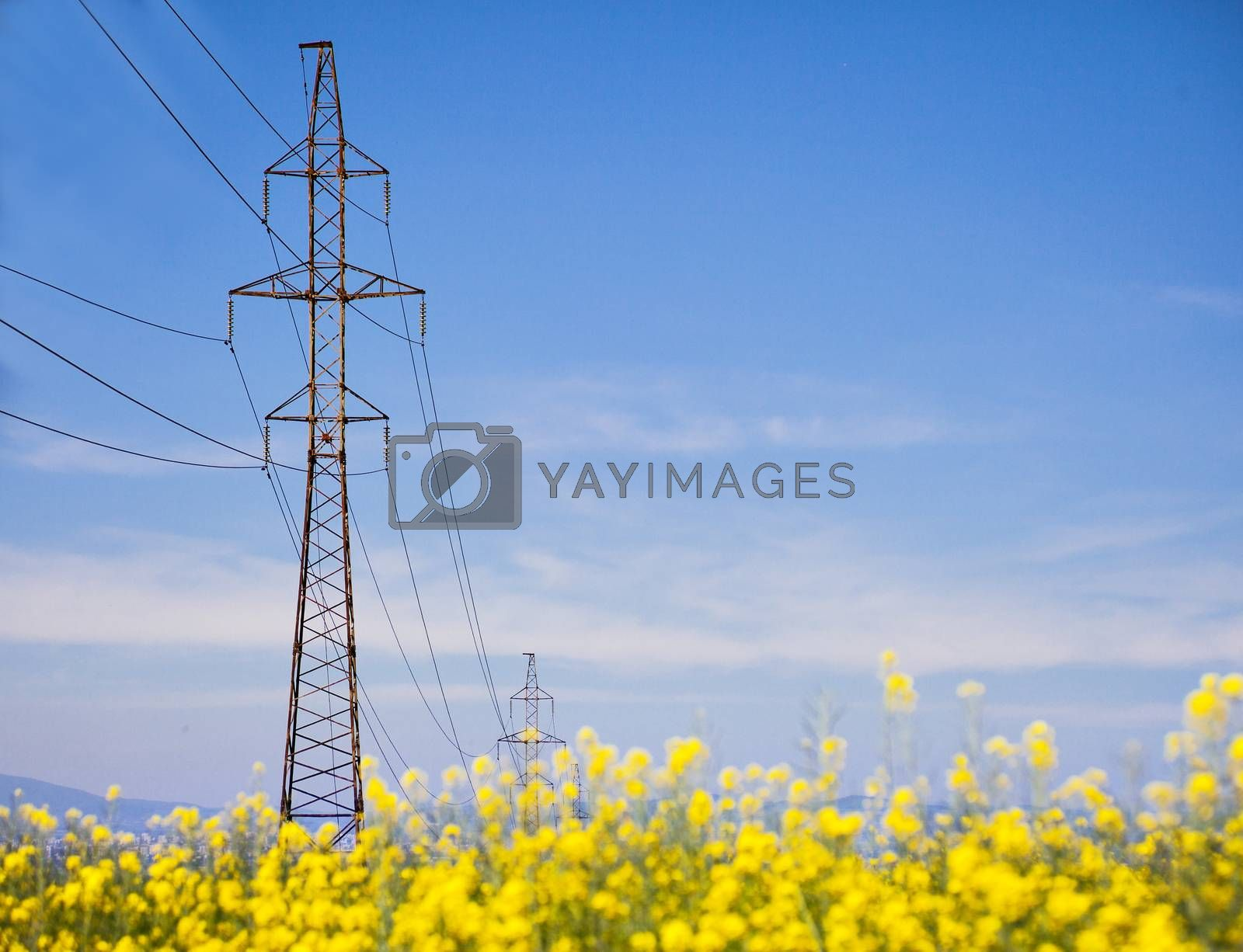 Vast field with yellow crops and a power lines on tall electrical pylon. Copy space.