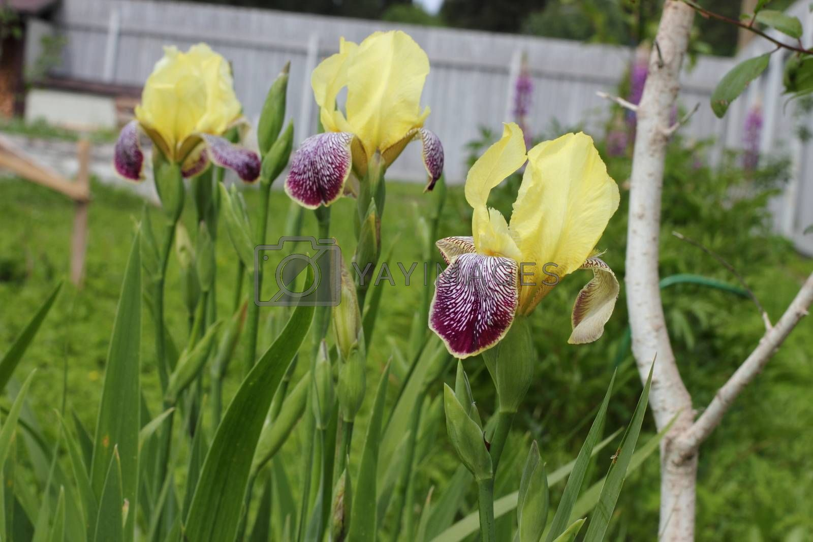 Yellow with purple irises in the garden. flowers