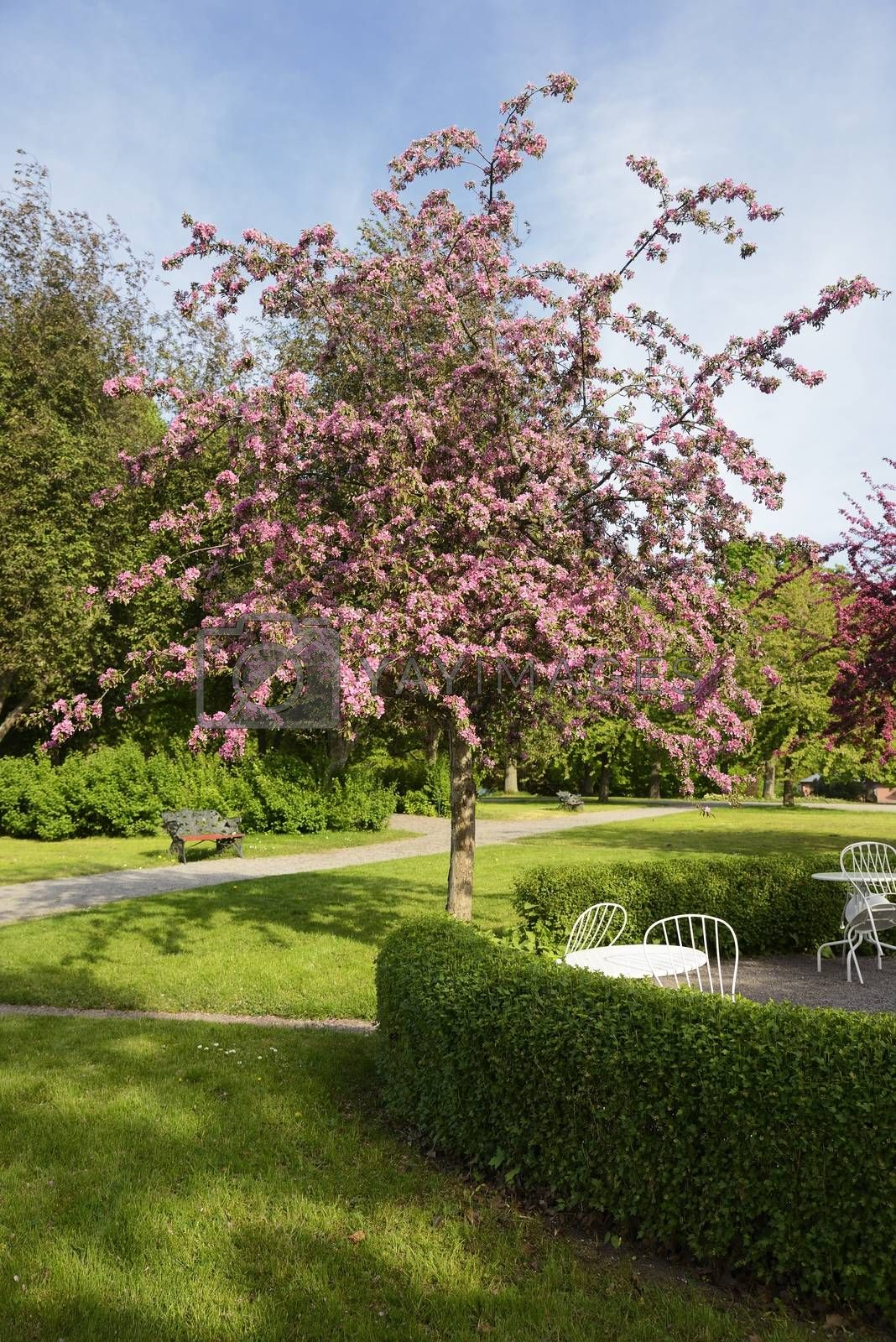 Cherry Blossom in park.