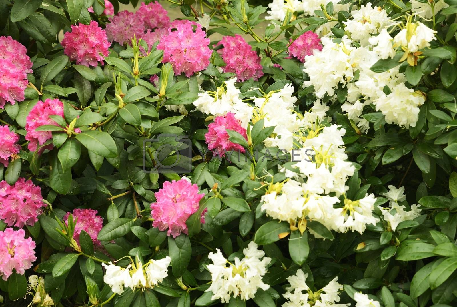 Pink and white Rhododendron flower.