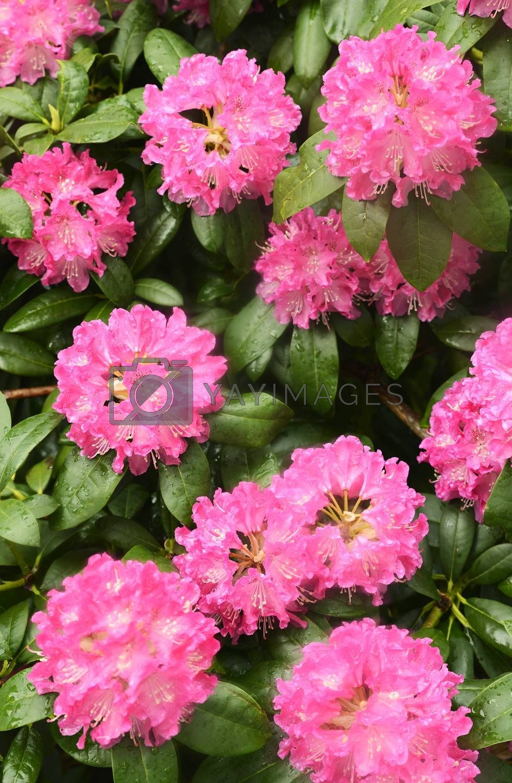 Closeup of Pink Rhododendron flower
