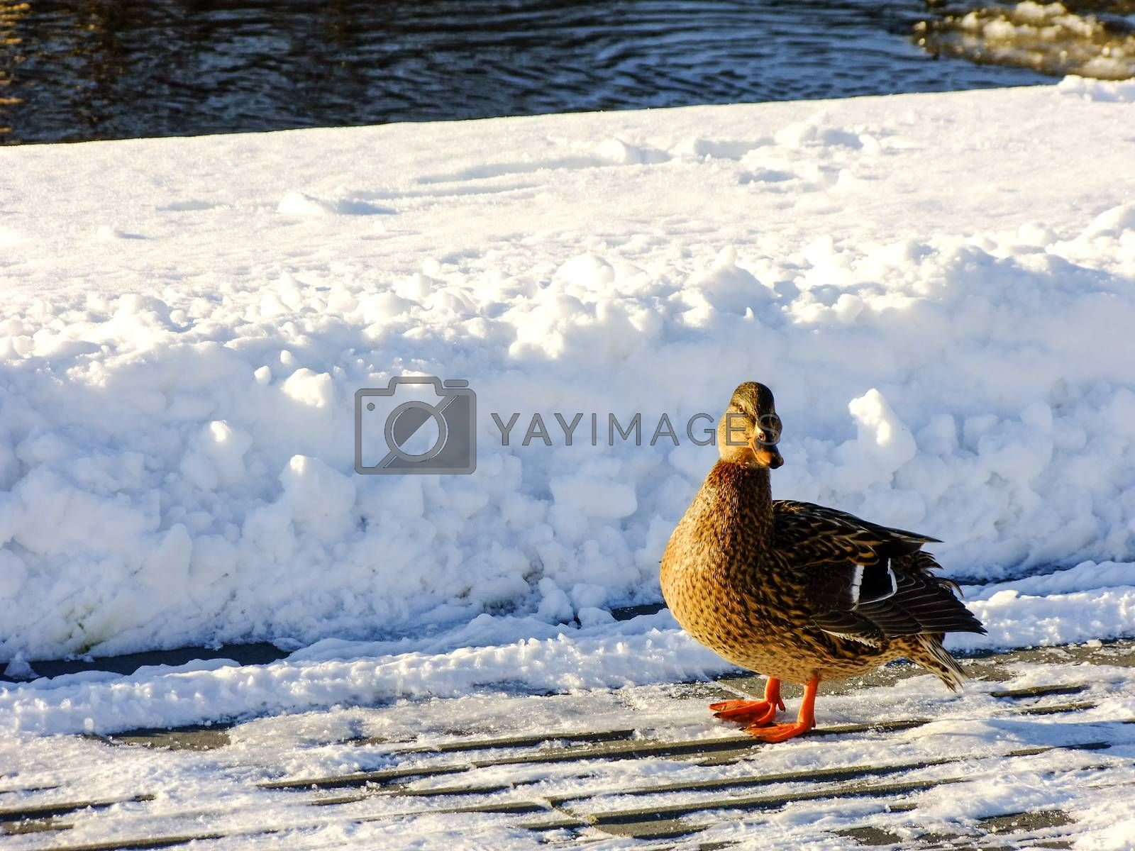 Duck looking to the Screen and standing on the snowy cold Winter Shore