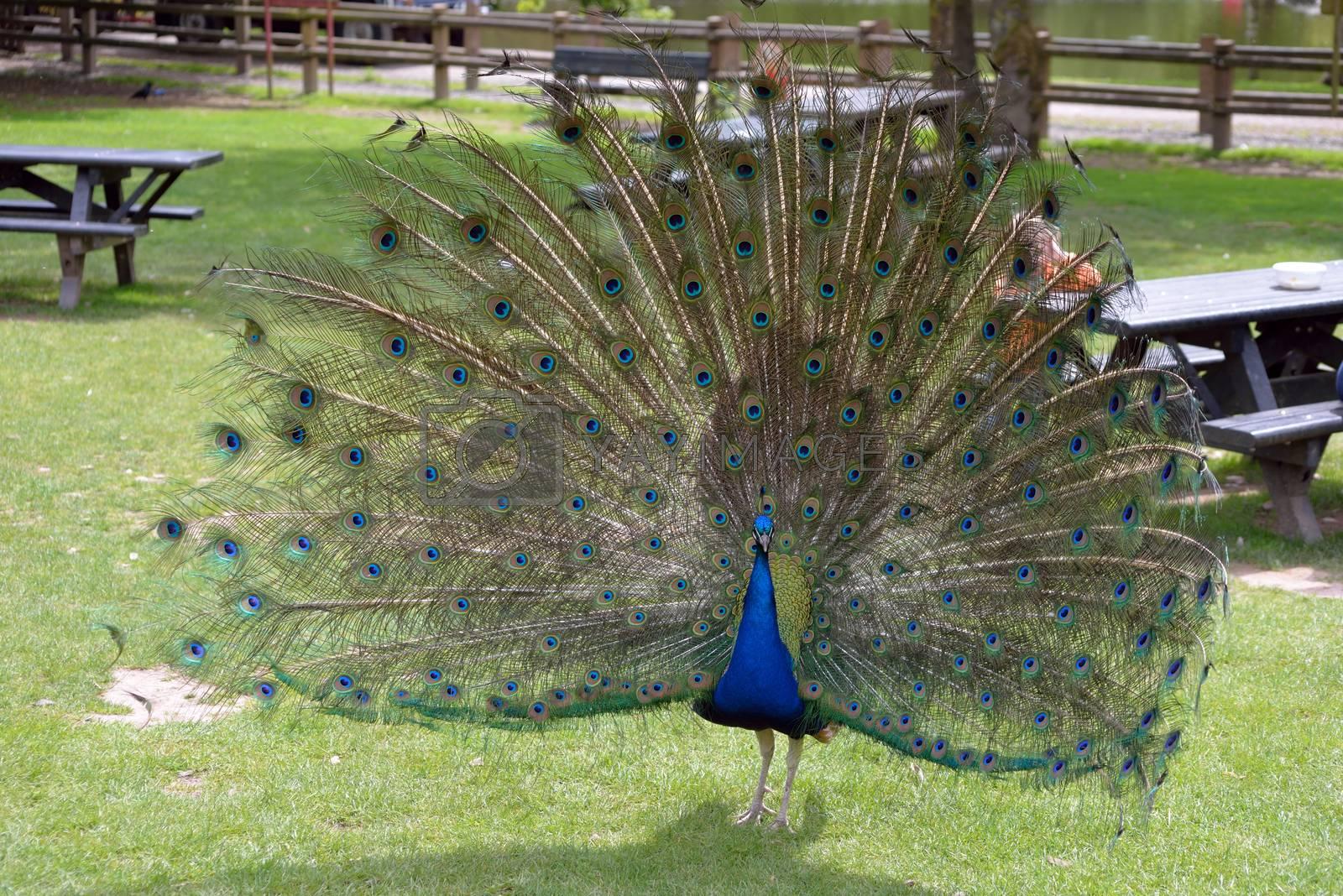 peacock in fota wildlife park near cobh county cork ireland
