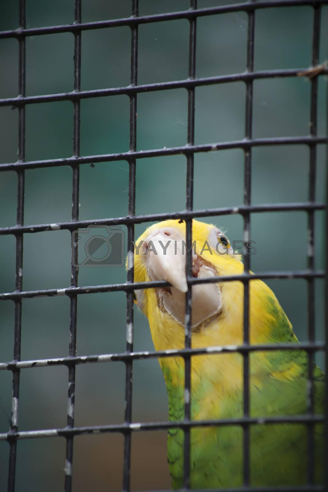Close up of a sun conure, also known as a sun parakeet