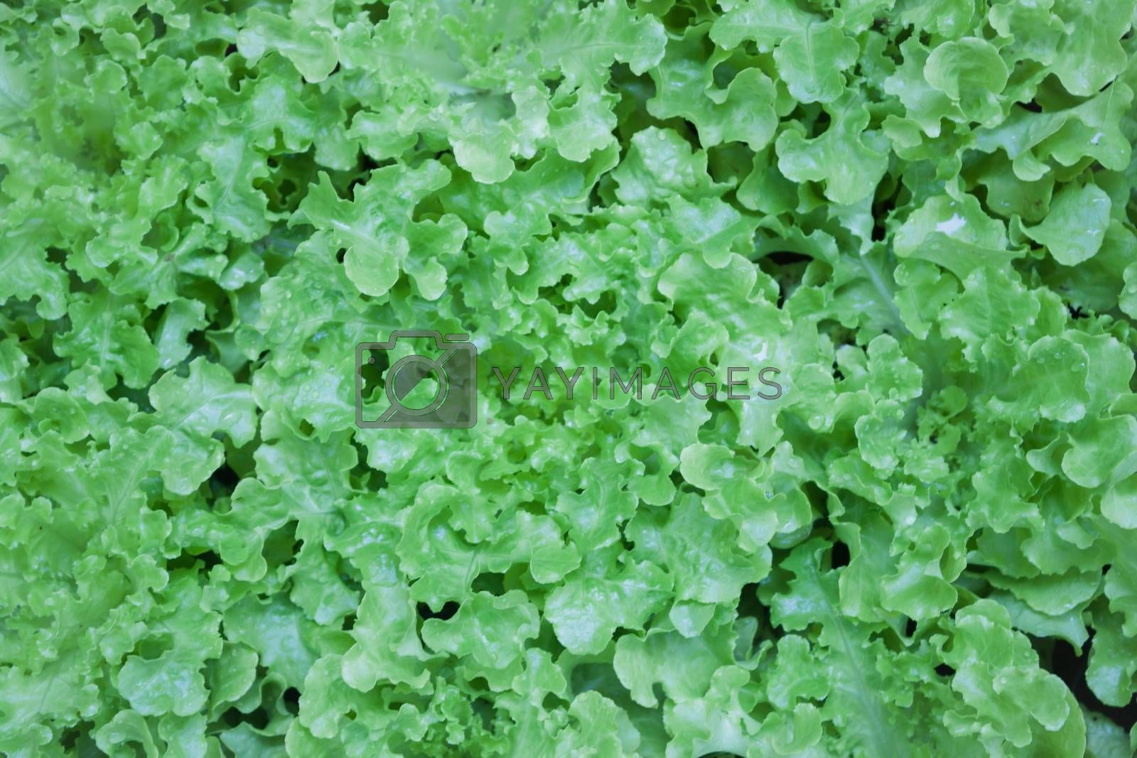 Top view of fresh green lettuce, stock photo