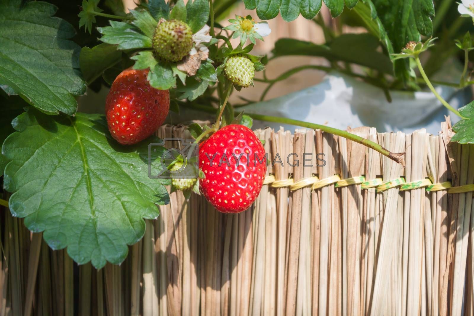 Strawberry with planting strawberry background, stock photo