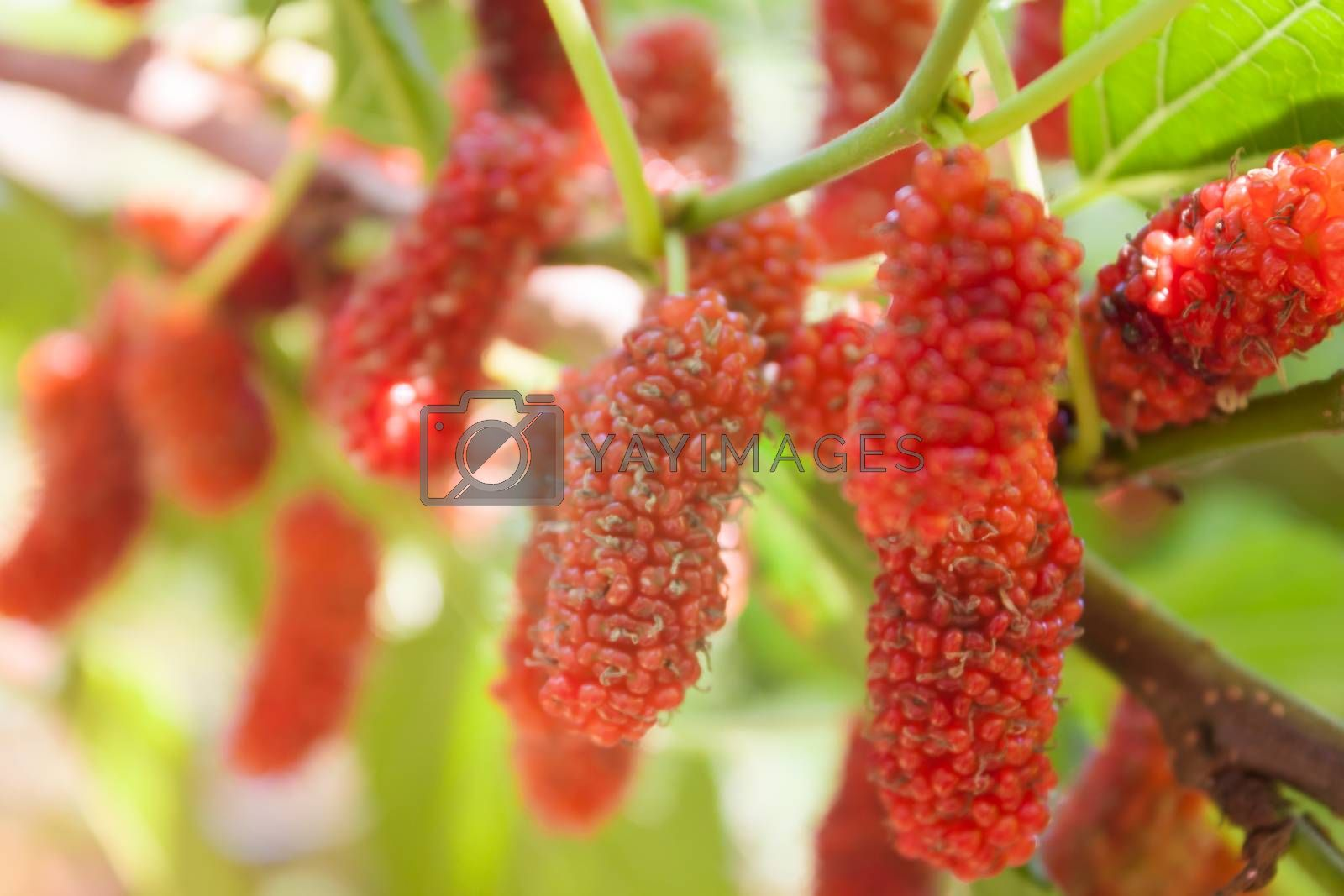 Red mulberries on the branch, stock photo