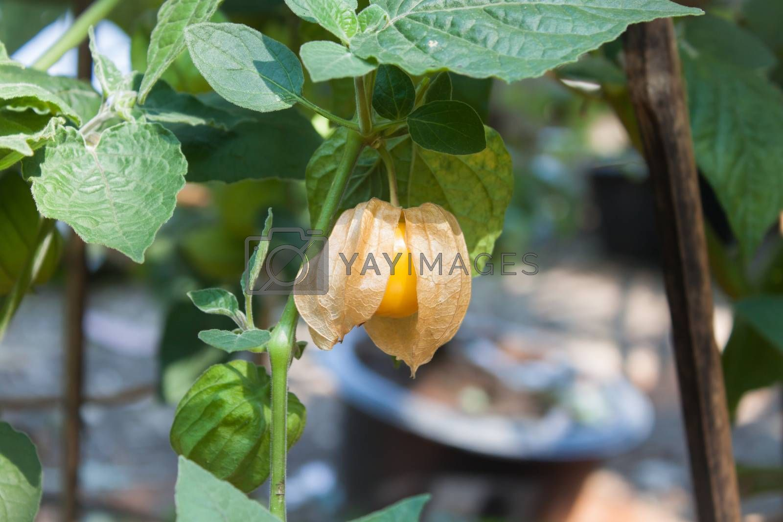 Cape Gooseberry on green background, stock photo
