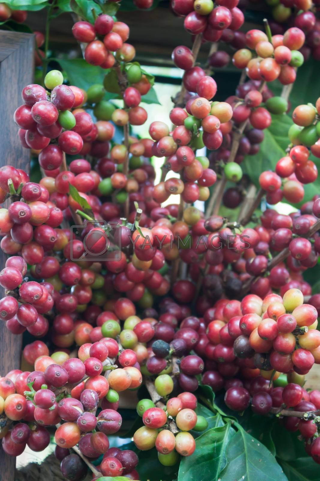 Coffee seeds on a coffee tree, stock photo