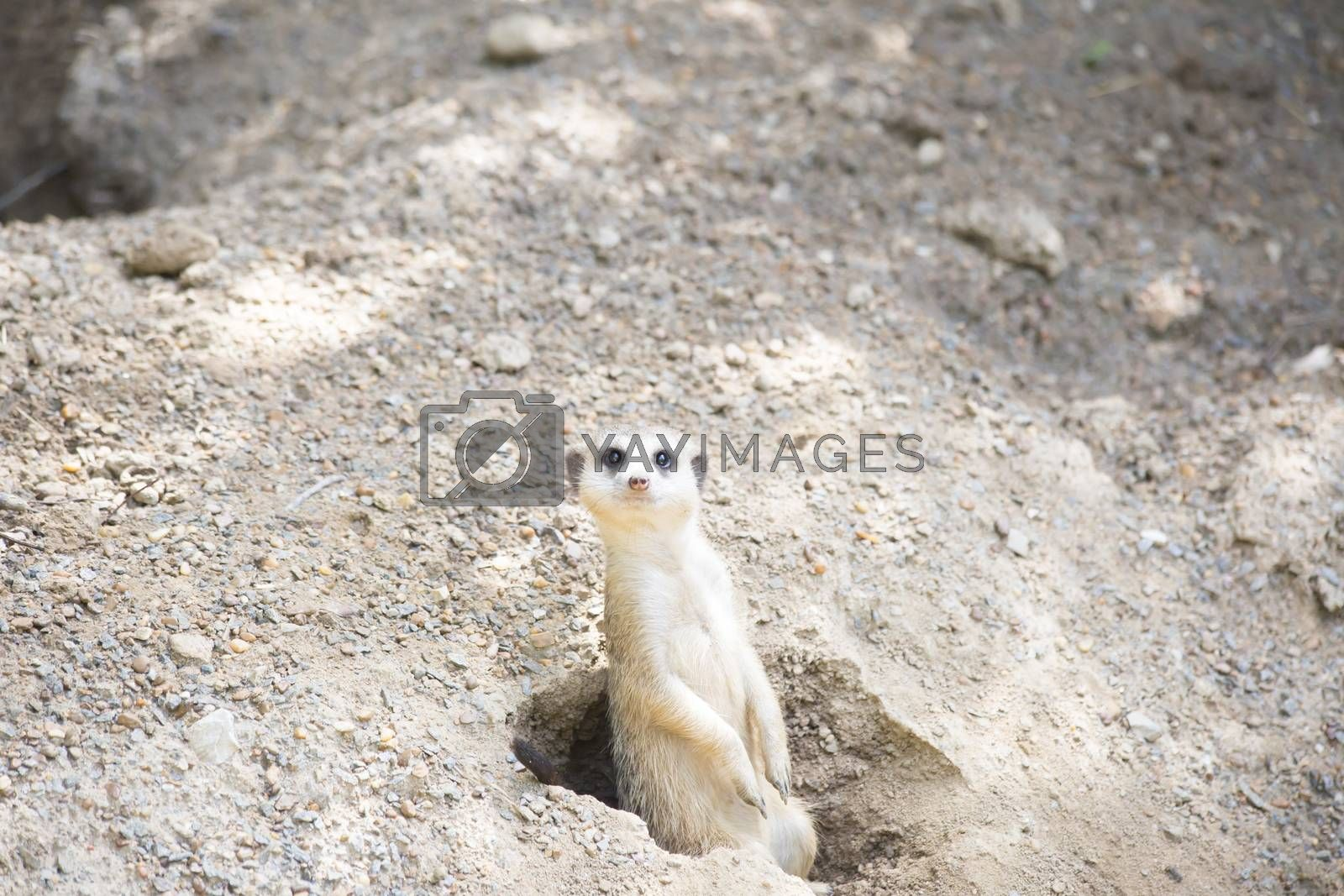 Meerkat guarding a burrow