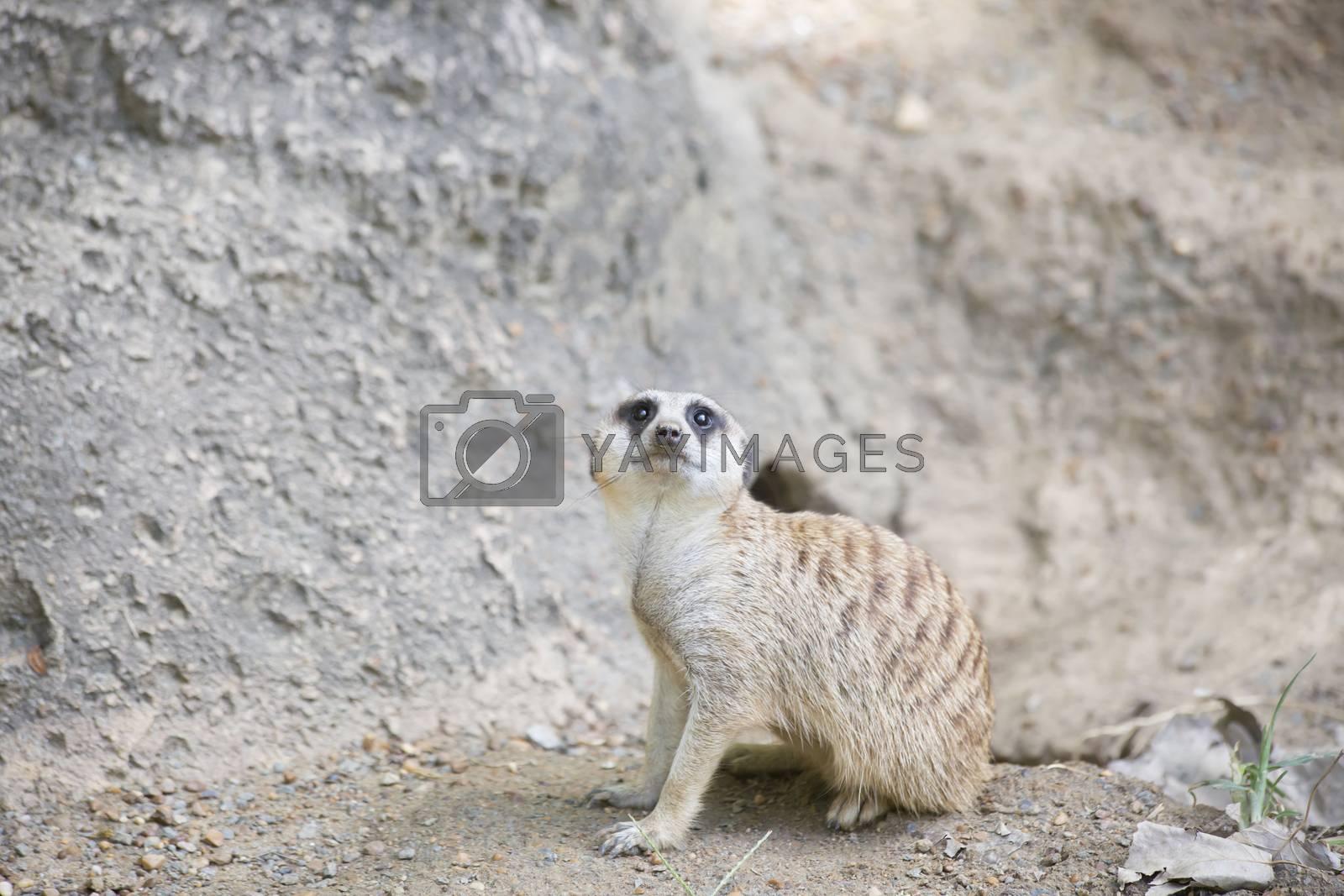 Meerkat looking around