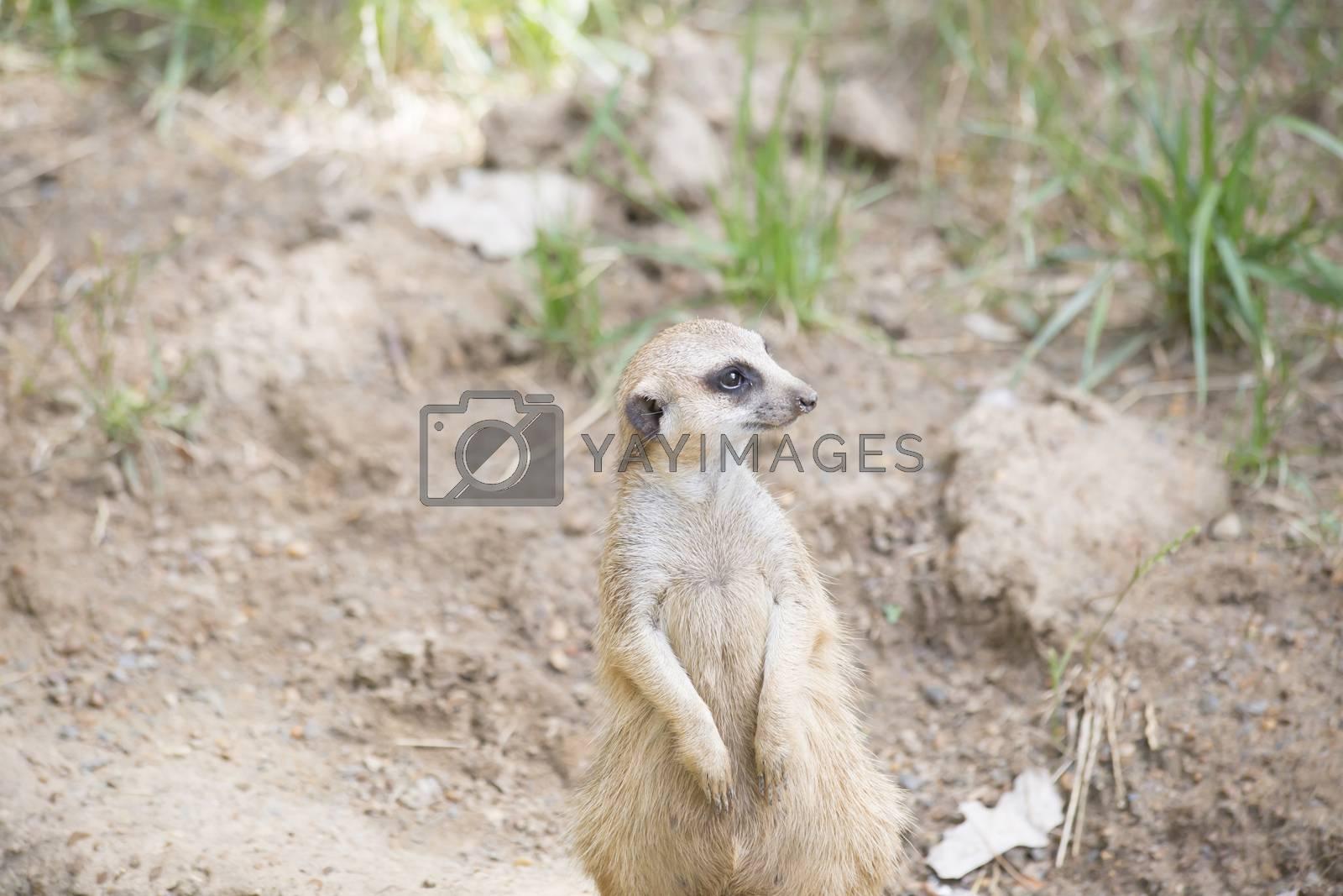 Meerkat standing guard