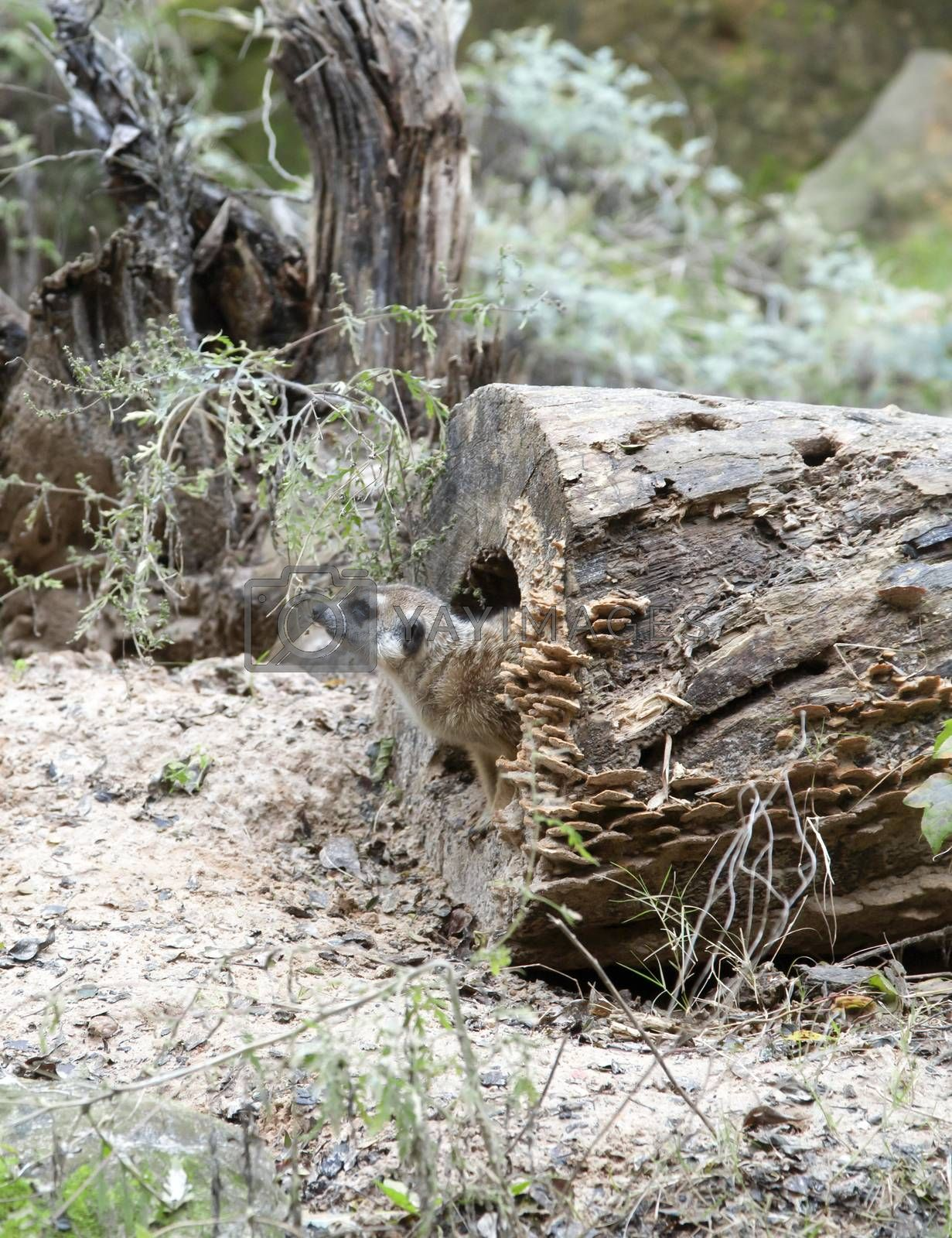 Meerkat climbing out of a log