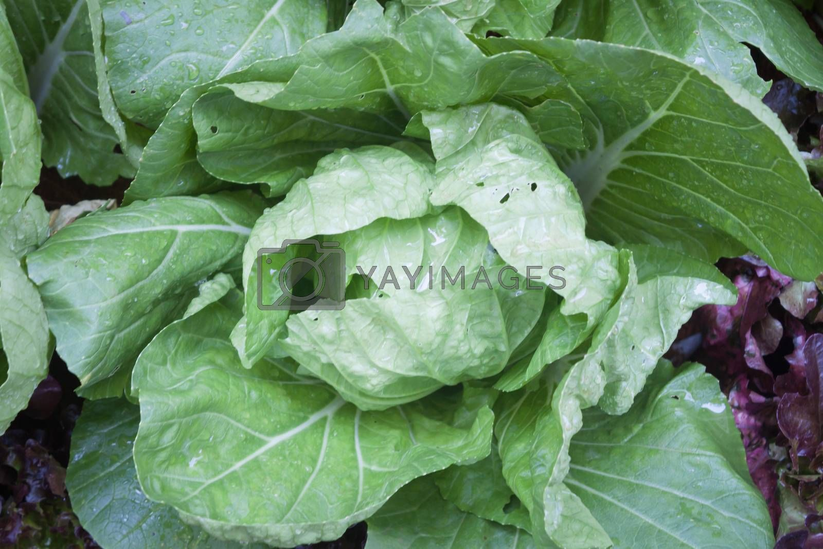 Cabbage vegetable in field background, stock photo