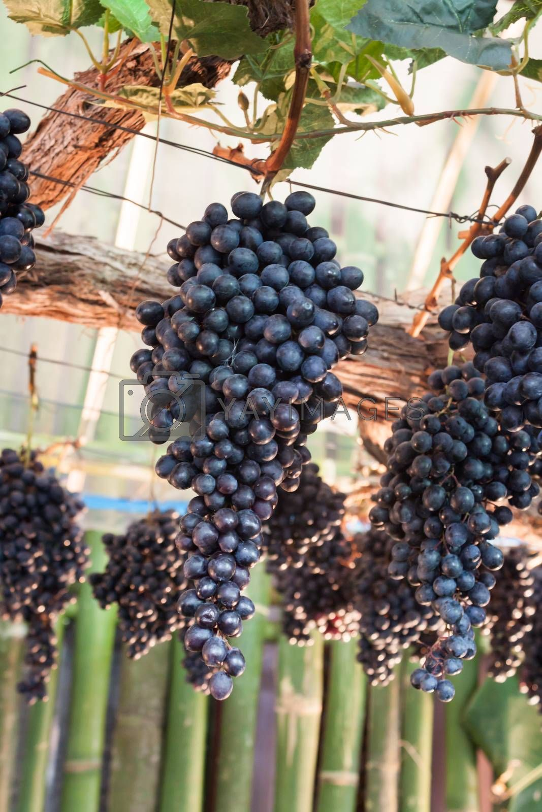 Bunches of grapes hang from a vine by punsayaporn