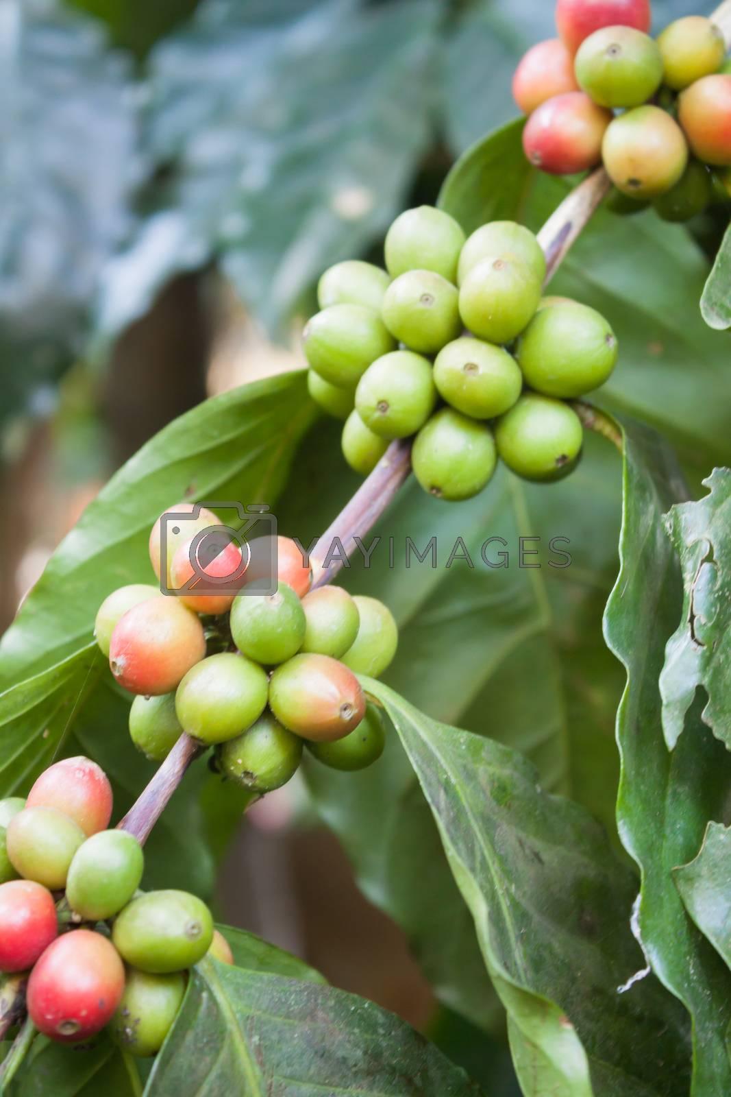 Coffee seeds on a coffee tree by punsayaporn
