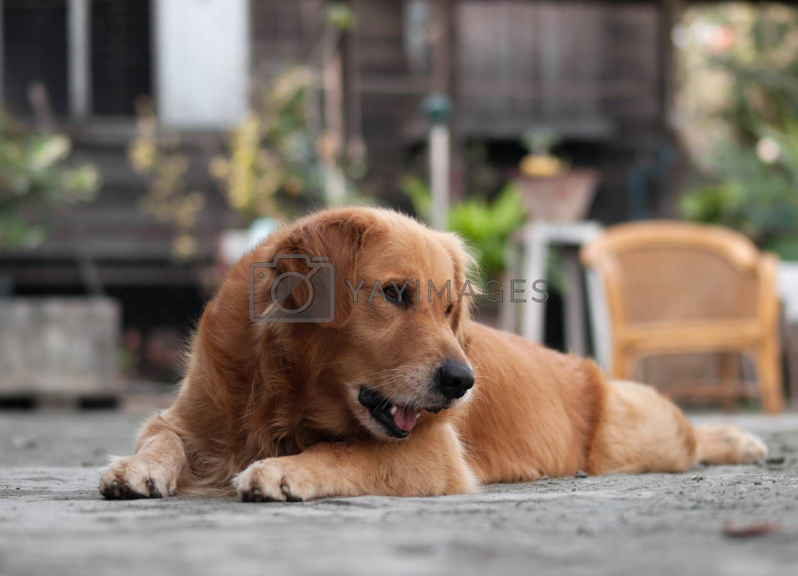 COLOR PHOTO OF GOLDEN RETRIEVER GAZING AT SOMETHING