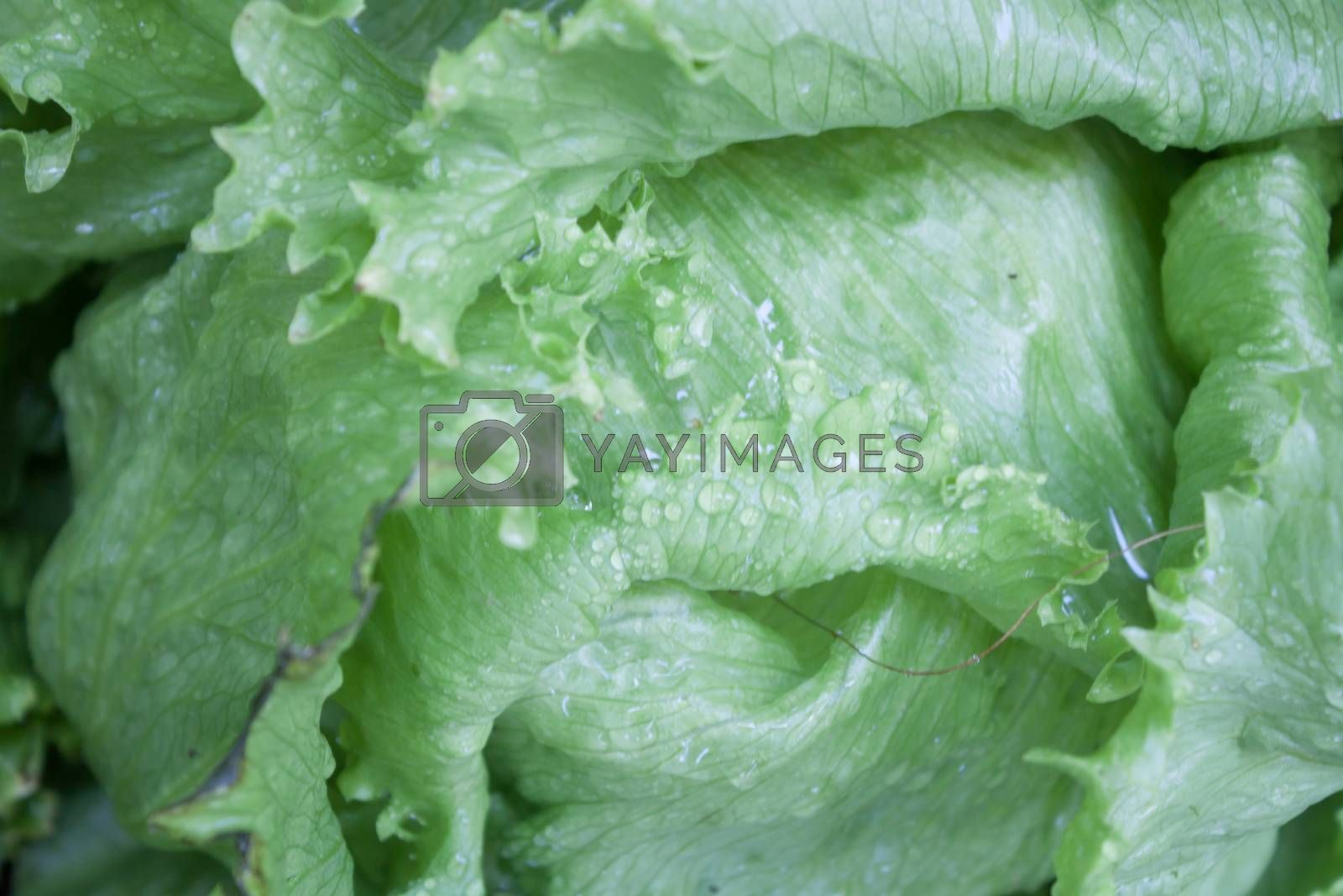 Closeup of green Iceberg lettuce, stock photo