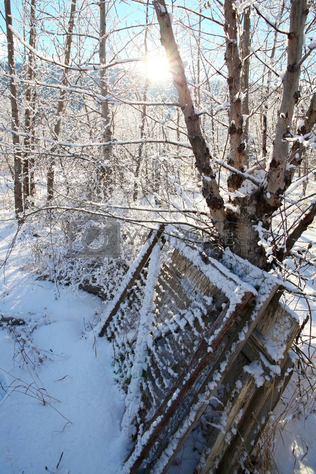Old gates leaning against a tree, covered in snow