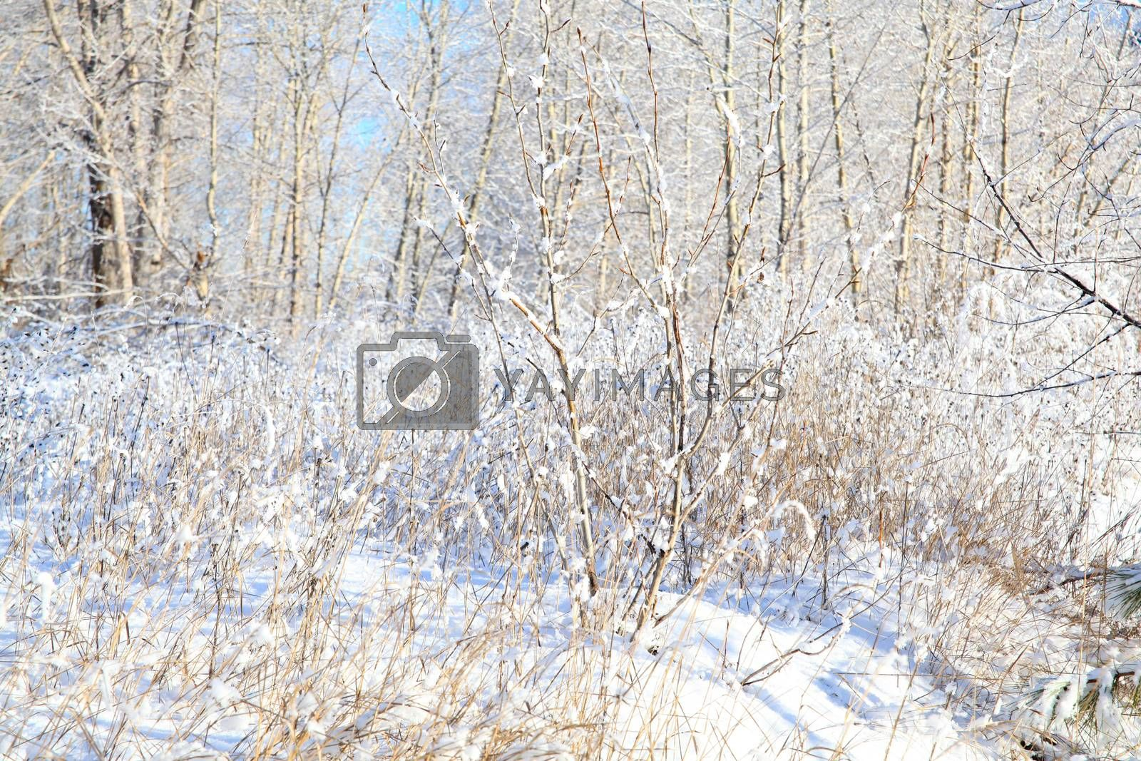 Snow covered trees and twigs on a sunny day