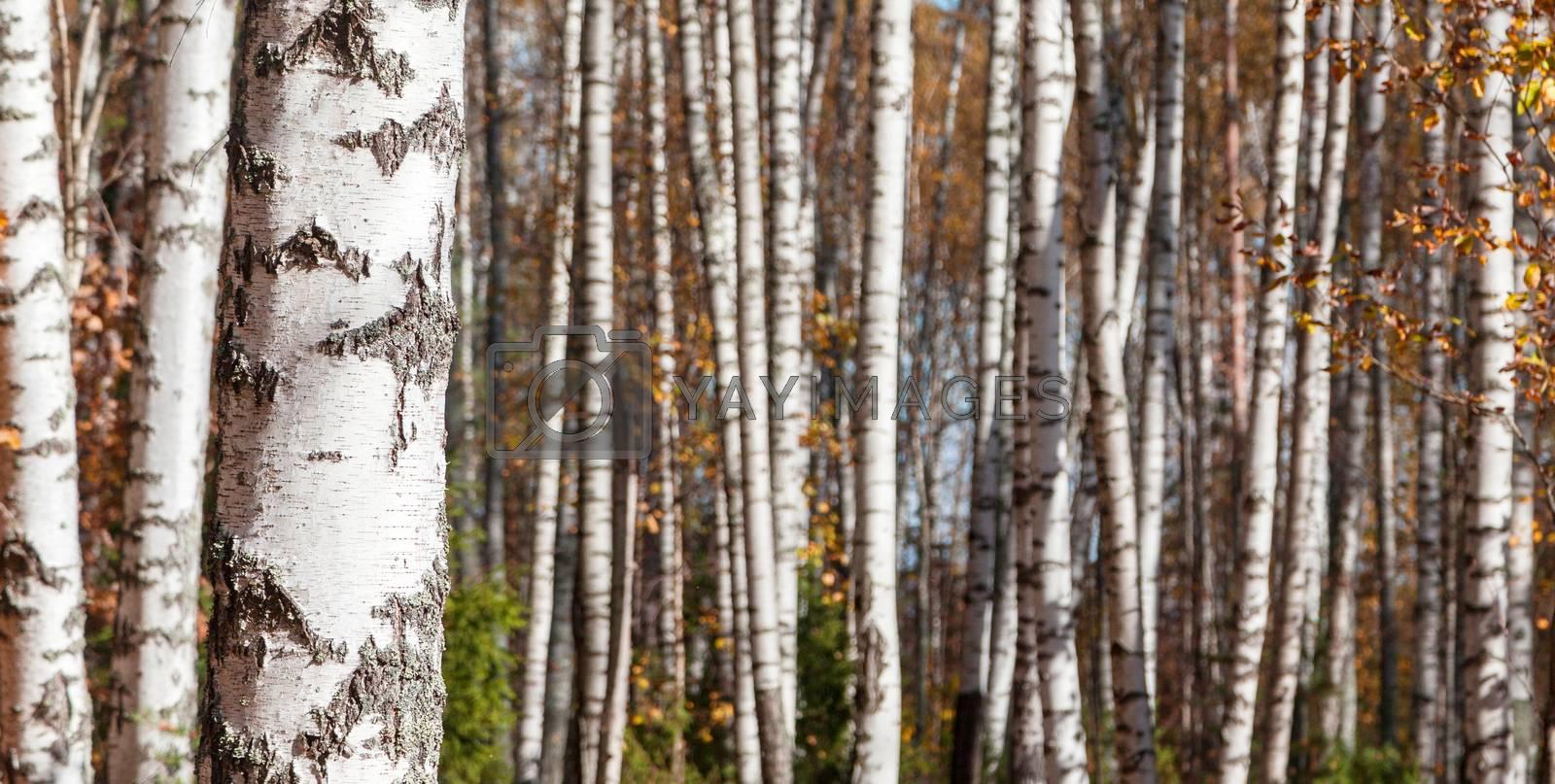 Birch forest landscape background, late autumn