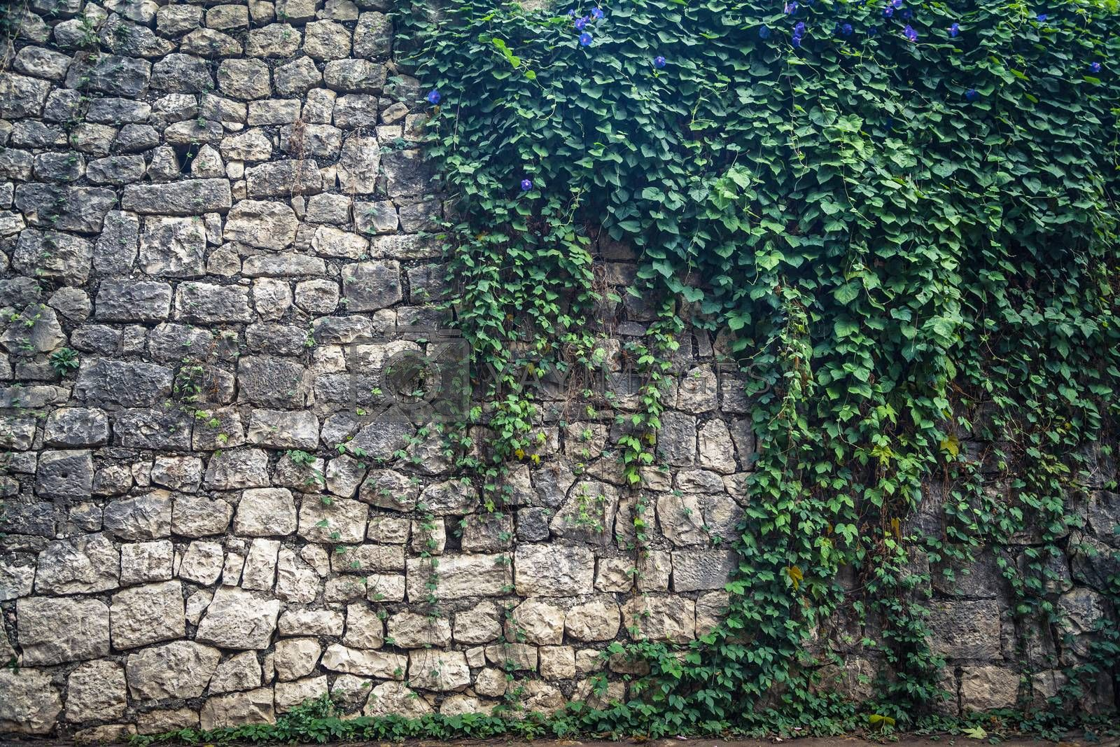 Ivy with violet flowers climbing the old wall