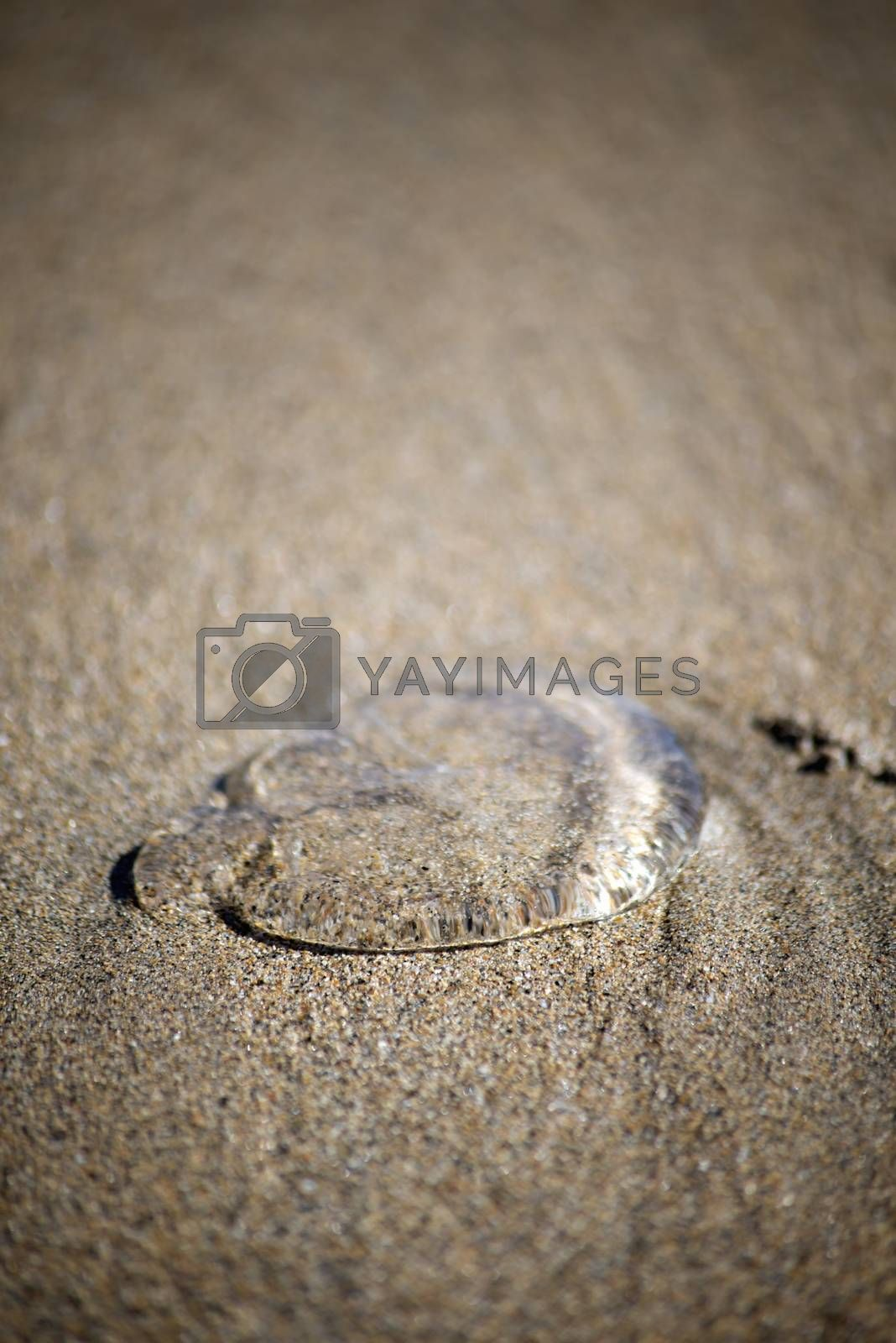 see through jellyfish in the sands of ireland
