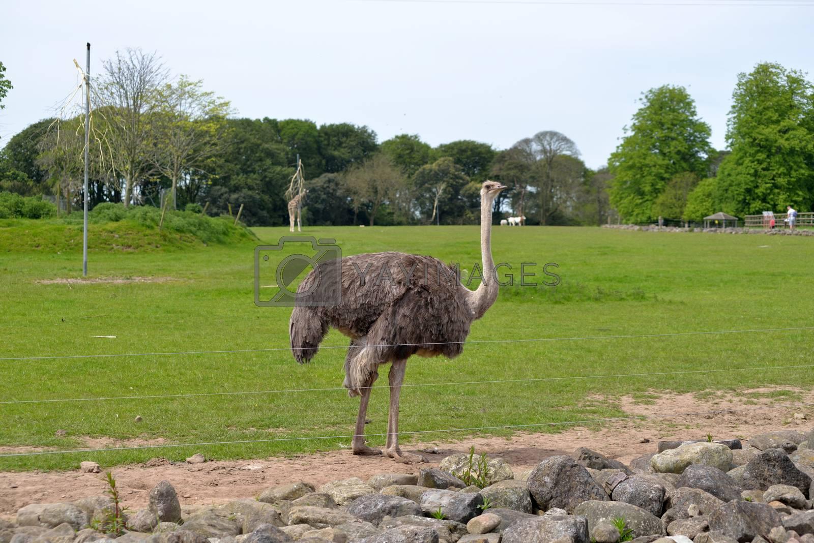 single ostrich in fota wildlife park near cobh county cork ireland