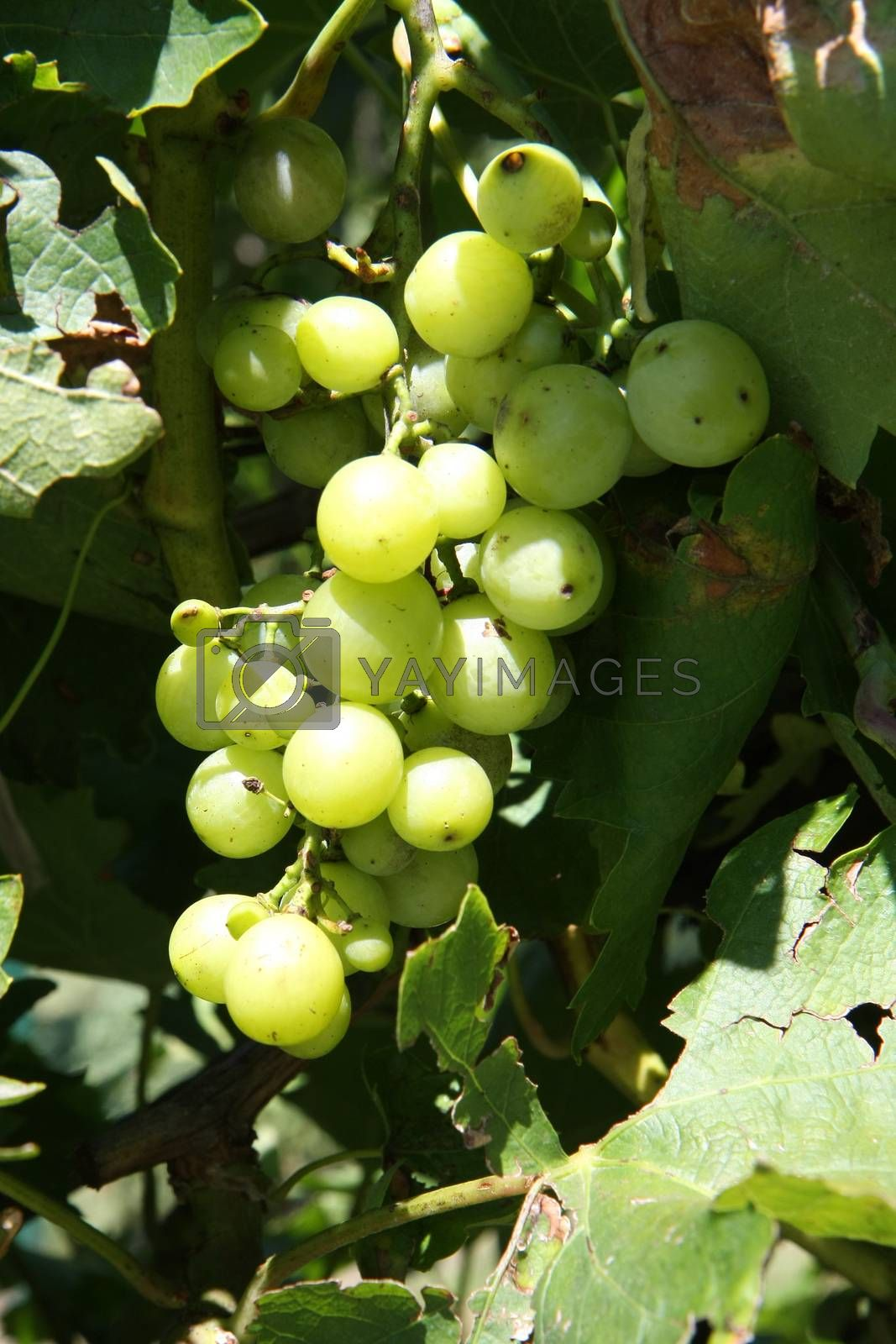Natural green grapes without herbicides and pesticides